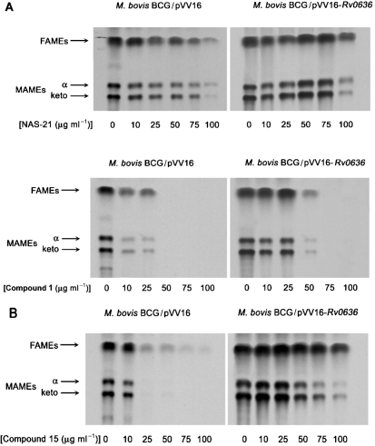 TLC-autoradiography of M. <t>bovis</t> <t>BCG</t> FAMEs and MAMEs after NAS-21 and NAS-91 analogue treatment. (A) NAS-21 analogue 1 (0–100 μg ml −1 ) and (B) NAS-91 analogue 15 (0–100 μg ml −1 ) were titrated into the M. bovis BCG/pVV16 cultures at an OD 600 of 0.4 prior to labelling with 1 μCi (37 kBq) [1,2- 14 C]acetate ml −1 for 8 h. [ 14 C]FAMEs and [ 14 C]MAMEs were extracted and resolved by TLC. An equivalent aliquot (20 μl) of the resulting solution of FAMEs and MAMEs was subjected to TLC using silica gel plates (5735 silica gel 60F 254 ; Merck), developed in petroleum ether/acetone (95 : 5, v/v). Autoradiograms were produced by overnight exposure to Kodak X-Omat AR film to reveal 14 C-labelled FAMEs and MAMEs.