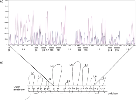 Distribution of synonymous and non-synonymous mutations across the Campylobacter porA allele in relation to the protein structure predicted by Zhang et al. (2000) . (a) Plot demonstrating the average for each codon for all pairwise comparisons for indels, synonymous and non-synonymous mutations calculated from 196 porA nucleotide alleles by SNAP.pl ( Korber, 2000 ; Ota Nei, 1994 ). Synonymous mutations are indicated by the blue line and non-synonymous mutations by the pink line. x -axis annotation indicates codon number and related predicted protein structure. (b) Schematic representation of the Campylobacter MOMP indicating putative intra-membrane β -barrels and surface-exposed loops.