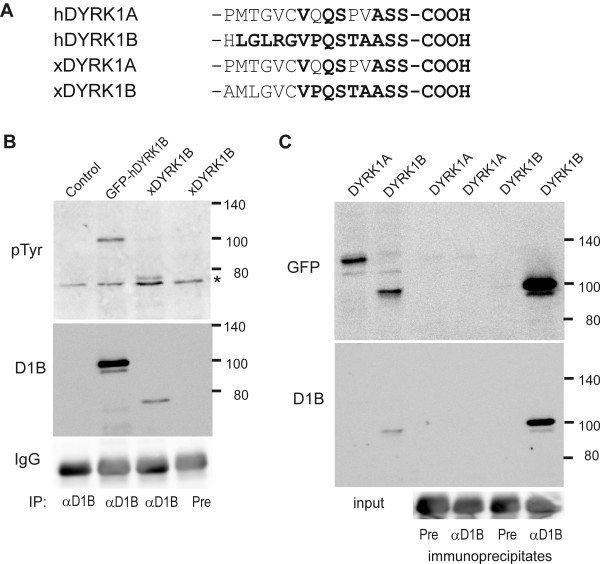 Immunoprecipitation of xDYRK1B . A , C-terminal sequences of human and Xenopus DYRK1A and DYRK1B. Amino acids identical with the immunogenic peptide used to raise the DYRK1B antibody are highlighted in bold. B , Immunoprecipitation of xDYRK1B. <t>HeLa</t> cells were transiently transfected with expression plasmids for xDYRK1B, GFP-DYRK1B or the empty vector ( control ). After immunoprecipitation with DYRK1B-specific antiserum ( αD1B ) or preimmune serum ( Pre ), bound proteins were subjected to Western blot analysis with a phosphotyrosine-specific antibody ( P-Tyr ) and the DYRK1B antiserum as indicated. Detection of IgG is shown as a loading control. The asterisk marks an unspecific band. C , Specificity of the DYRK1B antiserum. <t>COS7</t> cells were transiently transfected with expression plasmids for the GFP fusion proteins of mammalian DYRK1A or DYRK1B as indicated on top of the lanes. Aliquots of the whole cell lysates ( input ) or proteins eluted from the immunoprecipitates ( αD1B, Pre ) were subjected to Western blot analysis with anti GFP and anti DYRK1B antibodies as indicated. Detection of IgG is shown as a loading control.
