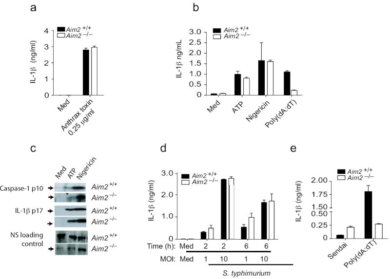 Aim2-deficient cells respond normally to other inflammasome activating stimuli. a. BMDM from Aim 2 +/+ , Aim 2 -/- , and C57Bl/6 mice were primed with LPS (200 ng/ml) for 3 h and stimulated with anthrax toxin units PA and LF. Supernatants were harvested after 6 h and analyzed by ELISA for IL-1β production. b-c. LPS primed Aim 2 +/+ and Aim 2 -/- TEM were treated with ATP (5 mM) and Nigericin (5 μM) for 1 h and secretion of IL-1β and cleavage of IL-1β and caspase 1 were analyzed. d. Aim 2 +/+ and Aim 2 -/- BMDM were primed with LPS (200 ng/ml) for 3 h and infected with S. typhimurium at MOI 1 and MOI 10. Supernatants were harvested at 2 and 6 h post infection and IL-1β levels were analyzed by ELISA. e. BMDCs were treated with Sendai virus (200 HA units/ml) for 18 h and IL-1β concentrations in the supernatant were measured by ELISA. NS; nonspecific band. Asterisks indicate P values of