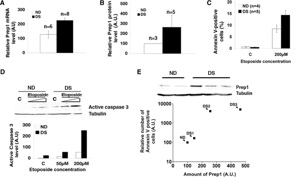 Down syndrome fibroblasts show increased Prep1 levels and are more prone to genotoxic stress induced apoptosis. ( A ) Total mRNA from normal (ND) and Down syndrome (DS) skin fibroblasts was purified, retro-transcribed using a poly-A + primer, quantitative real-time PCR analysis was performed using primers specific for human Prep1 ('Material and Methods' section) and the data normalized to β-actin mRNA values. ( B ) The average of Prep1 protein levels from three ND and five DS lines was calculated from the densitometric analysis of several immunoblots (data not shown). ( C ) ND ( n = 4) and DS ( n = 5) fibroblasts were treated (or not) with etoposide for 24 h. The number Annexin V-positive (i.e. apoptotic) cells was measured by FACS and values were expressed as percentage of total events. ( D ) Levels of active caspase 3 were detected by immunoblot with specific polyclonal antibodies using crude extracts from ND and DS fibroblasts treated (or not) with etoposide for 24 h at the concentrations indicated in the figure. The graph shows the results of the densitometric analysis, normalized to tubulin. C, untreated cells. ( E ) Cultures of three ND and three DS fibroblast lines were divided in two aliquots: one was treated with 200 µM etoposide for 24 h and the level of apoptosis measured by FACS using Annexin V staining and normalized to the level of apoptosis in the relative ND line. The other aliquot was used to determine the level of Prep1 in each line by immunoblot and densitometric analysis and normalized to the Prep1 level of the relative ND line. The relative Prep1 levels were plotted against the relative number of Annexin V positive cells for each DS line. A value of 100 was arbitrarily given to the Prep1 level and the number of Annexin V-positive cells in the three ND lines analyzed; therefore, a single ND value is reported in the graph.