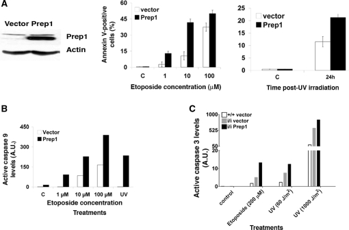 Prep1 overexpression induces a strong apoptotic response in murine cells ( A ; left) Total extracts from murine F9 teratocarcinoma cells stably transfected with a Prep1-expressing or control vector ( 16 ) were resolved in an 8% SDS-PAGE and transferred to a PVDF membrane. The endogenous amount of Prep1 was checked by immunoblotting using a specific monoclonal antibody and normalized to β-actin content. (Middle) Cells were treated with etoposide as indicated or (Right) UV irradiated (UVC 254 nm; 60 J/m 2 ). After 24 h of treatment or 24 h post-UV irradiation the number of AnnexinV-positive (apoptotic) cells was determined by FACS and plotted for overexpressing and control cells. Values are expressed as percentages of total events. C, untreated cells. ( B ) After 12 h of etoposide treatment (as indicated) or 12 h post-UV irradiation (UV C 254 nm; 60 J/m 2 ), total cell extracts from Prep1-overexpressing or control F9 cells were resolved on 12% SDS-PAGE, transferred to a PVDF membrane and active caspases 9 levels were determined by immunoblotting and densitometric analysis, using tubulin for normalization. The densitometric analysis of the blot ( Supplementary Figure S1A ; one of three independent immunoblots is shown as representative experiment) is shown in the graph. ( C ) MEF from Prep1 +/+ and Prep1 i / i embryos infected with a retroviral vector (pBABE) either empty or containing the cDNA for human Prep1 were previously described [( 5 ); Figure 6D]. Infected MEF were treated (or not) with etoposide (200 µM) for 24 h or irradiated with UV light (UV C 254 nm; 60 J/m 2 or 1000 J/m 2 ). Crude extracts were prepared after 24 h of drug treatment or 12 (1000 J/m 2 ) or 24 h (60 J/m 2 ) post-UV irradiation, fractionated in 12% SDS-PAGE, transferred to a PVDF membrane and the level of active caspase-3 determined by densitometric analysis (shown in the graph) of immunoblots ( Supplementary Figure S1B ). The experiment was repeated three times and the results from a represe