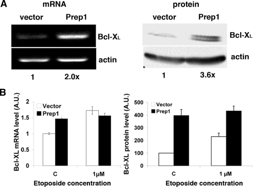 Prep1 overexpression increases Bcl-X L expression ( A ; left) Total RNA was purified from untreated Prep1-overexpressing or control F9 cells, retrotranscribed using polyA + primers and semiquantitative PCR analysis performed with specific primers for murine Bcl-X L and β-actin. The results of the densitometric analysis is shown under each lane. (Right) Crude extracts from the above cells were resolved by 12% SDS-PAGE and transferred to PVDF membrane. Endogenous Bcl-X L protein levels were analyzed by immunoblotting with specific monoclonal antibody and β-actin was used for normalization. Results of the densitometric analysis are shown under each lane. ( B ) Total mRNA and crude extracts were prepared and processed as above for qPCR (experiment performed in triplicate; left) or immunoblotting (right) from cell that were treated (or not) with the etoposide for 12 h. A value of 1 and of 100 was arbitrarily given to Bcl-X L mRNA (left) and protein (right) amount, respectively, in untreated cells infected with the control vector.