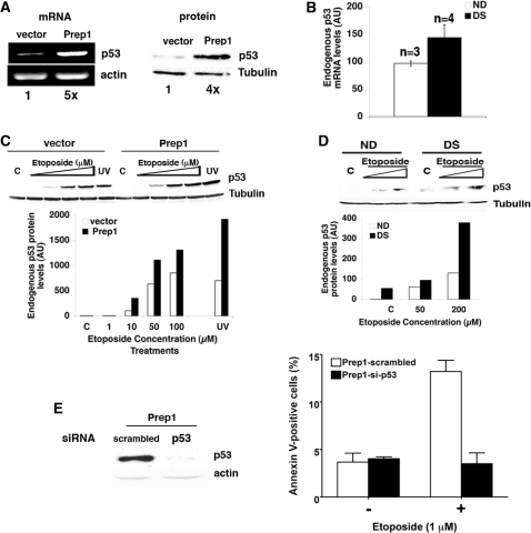 Endogenous p53 expression levels increase in Prep1 overexpressing cells and its depletion rescues the apoptotic phenotype. ( A ; left) Total RNA was purified from untreated Prep1-overexpressing or control F9 cells, retrotranscribed using polyA + primers and semiquantitative PCR analysis performed using specific primers for murine p53 and β-actin. Densitometric analysis results are shown under each lane. (Right) Crude extracts from the above cells were fractionated by 12% SDS-PAGE and transferred to PVDF membrane. Endogenous p53 levels were analyzed by immunoblotting with a specific monoclonal antibody. Tubulin was used for normalization. Densitometric analysis results are shown under each lane. ( B ) Total mRNA form ND ( n = 3) and DS ( n = 4) fibroblast lines was purified and processed as above. Quantitative real-time PCR was performed using primers specific for human p53 and the data are normalized to β-actin mRNA values. ( C ) Prep1-overexpressing or control F9 cells were treated with etoposide as shown or irradiated with UV C (254 nm; 60 J/m 2 ). After 12 h of treatment or 12 h post-irradiation, crude extracts were prepared, resolved by 12% SDS-PAGE and transferred in PVDF membrane. The amount of p53 protein was determined by immunoblotting using a specific monoclonal antibody and the value normalized to tubulin. The graph reports the representative results of the above immunoblot (from one of three independent experiments), which was exposed for a short time to maintain p53 in the linear range for most of the lanes and in which p53 is not visible either in the C or 1-µM lanes. However, a longer exposure of the same blot shows the presence of p53 in the relevant C and 1-µM lanes ( Supplementary Figure S1C ). ( D ) Crude extracts were prepared from ND and DS fibroblasts treated (or not) with etoposide for 24 h, as indicated, fractionated and transferred as above. The levels of p53 were determined by densitometric analysis of the immunoblot, performed using specif