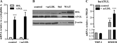 ATGL expression in macrophages and foam cells. Mouse peritoneal macrophages, human THP-1, and human monocyte-derived macrophages ( HMDM ) were cultivated in <t>DMEM,</t> 10% <t>LPDS</t> in the absence (control) or presence of 100 μg of acLDL/ml. Total RNA was isolated and reverse-transcribed, and mRNA expression of ATGL ( A and C ) and hormone-sensitive lipase ( HSL ) was determined by real time PCR, including murine hypoxanthine-guanine phosphoribosyltransferase or human ( hu ) porphobilinogen deaminase normalization ( A ). Untreated macrophages were arbitrarily set to 1. Data are expressed as mean values ( n = 3) ± S.E. of triplicate repeats. ***, p ≤ 0.001. B , cell extracts of macrophages, foam cells (40 μg per lane), and white adipose tissue ( WAT ) (10 and 40 μg per lane) were resolved by SDS-PAGE. Protein expression of ATGL and hormone-sensitive lipase were analyzed by Western blotting relative to the expression of β-actin. STD , standard.