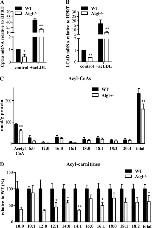 mRNA levels of mitochondrial genes in Atgl −/− and WT macrophages and foam cells. MPM were cultivated in DMEM, 10% LPDS in the absence or presence of 100 μg of acLDL/ml (foam cells). Total RNA was isolated from cells and reverse-transcribed, and mRNA levels of carnitine palmitoyltransferase ( CPT )1a ( A ) and long chain acyl-CoA dehydrogenase ( LCAD ) ( B ) were determined by real time PCR, including normalization to hypoxanthine-guanine phosphoribosyltransferase ( HPRT ) levels. Untreated MPM were arbitrarily set to 1. Data are expressed as mean values ± S.E. of triplicate repeats. C , long chain acyl-CoA. D , carnitine ester concentrations were determined in macrophages of Atgl −/− and WT mice. Data are expressed as mean values ( n = 4–5) ± S.E. correlated to protein concentrations. *, p