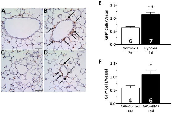 Chronic hypoxia and pulmonary HIMF gene transfer increase the number of BMD cells associated with the pulmonary vasculature. A–D: Paraffin-embedded lung sections from mice exposed to normoxia (7d, 20.8% O 2 ) (A), hypoxia (7d, 10.0% O 2 ) (B), AAV-null (14d, 2.5×10 10 VP) (C), or AAV-HIMF (14d, 2.5×10 10 VP) (D) were probed with polyclonal antibodies raised against GFP. Arrows indicate GFP + cells within the vasculature. Scale bar: 50 µm. E, F: Quantification of GFP + cells within the pulmonary vasculature. GFP + cells within the pulmonary vasculature are shown as mean ± SEM of GFP + cells/vessel. * P