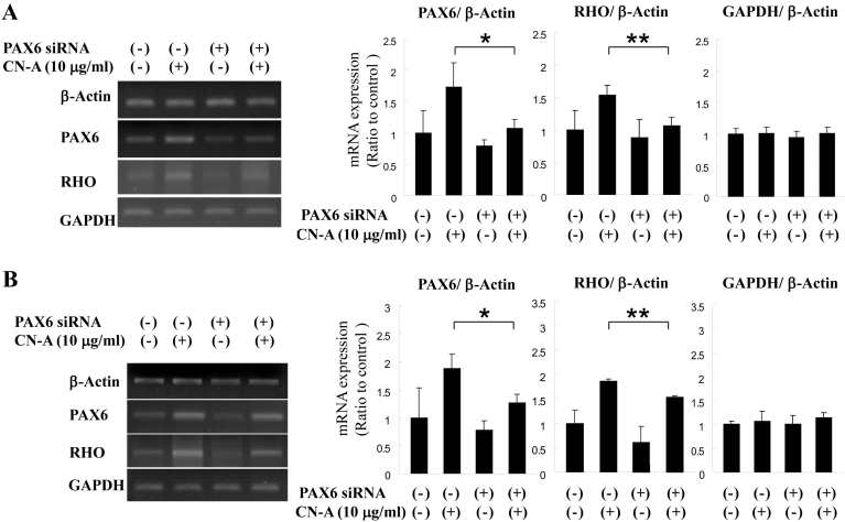 Response of paired box gene 6 (PAX6) knockdown on rhodopsin ( RHO) expression inretinoblastoma cell lines. PAX6 siRNA was introduced into Y-79 and WERI cells via siPORT for knockdown of PAX6 mRNA. The electrophoresis photographs and the bar graphs indicate the result of reverse transcription polymerase chain reaction (RT–PCR) in Y-79 cells ( A ) and WERI cells ( B ). PAX6 and RHO mRNA expression were investigated using RT–PCR. The mRNA expression was detected 48 h after siRNA transfection and cotylenin A (CN-A) treatment. The bar graph indicates transduction of PAX6 , RHO , and GAPDH mRNA expression by PAX6 siRNA (n=3); the error bar indicates the standard deviation; Mann–Whitney U -test, *p