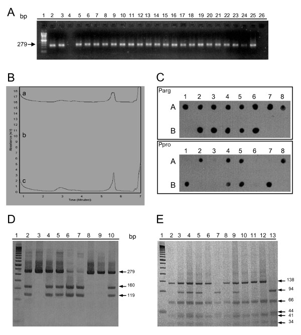 p53 codon 72 genotyping . (A) PCR for TP53 exon 4 detection. PCR products were loaded on 1.5% agarose gel. 100 base pairs DNA ladder (lane 1), positive controls (lane 2 and 3), negative controls (lanes 4 and 26), samples tested (lanes 5-25). (B) Detection of TP53 codon 72 polymorphism by DHPLC. Elution profiles obtained at 59°C. Representative heterozygous (a) and homozygous profile (b and c) are depicted. Note the small shoulder only in heterozygous samples. After the first trial, homozygous samples were mixed in approximately equimolar proportions with a control sample with TP53 codon 72 polymorphism previously identified as homozygous proline. This allowed differentiating the two homozygous genotypes. Homozygous profiles represent a sample with the genotype similar to the control sample added. Heterozygous profile represents a sample with the genotype differing from the control sample. (C) Dot Blot hybridization for TP53 codon 72 polymorphism genotyping. Samples were spotted onto nylon membranes and hybridized with biotin-labelled oligonucleotide probes for allele Arg (PArg) and allele Pro (PPro). Sample 1A, 1B and 2A represent positive controls. The profile observed in sample 1A is compatible with a homozygous arginine. Sample 1B presents a profile compatible with the genotype homozygous proline. Sample 2A presents a profile compatible with the heterozygous genotype. (D) Silver-stained 8% polyacrylamide gel showing the restriction profiles obtained with enzyme <t>Bst</t> UI of the TP53 exon 4 PCR product. 50 base pairs DNA ladder (lane 1). Lanes 2, 4, 5 represent heterozygous samples where fragments of 279, 160 and 119 base pairs can be detected. Lanes 3 and 8 represent homozygous proline samples in which the enzyme was not able to digest the PCR product. Lanes 6 represent an homozygous arginine in which fragments of 160 and 119 base pairs can be identified. Lanes 7, 9 and 10 represent positive controls for homozygous arginine, homozygous proline and heterozygous samples, respectively. (E) Silver-stained 12% polyacrylamide gel showing the restriction profiles obtained with enzyme <t>Bsa</t> JI of the TP53 exon 4 PCR product. 50 base pairs DNA ladder (lane 1). Lanes 3, 4, 5 represent heterozygous samples in which fragments of 138, 94, 66, 44, 41 and 34 base pairs can be detected. Lanes 7 represent a homozygous proline sample in which fragments of 94, 66, 44, 41 and 34 base pairs can be identified. Lanes 2, 6, 8, 10 and 11 represent homozygous arginine samples in which fragments of 138, 66, 41 and 34 base pairs can be detected. Lanes 9, 12 and 13 represent positive controls for heterozygous, homozygous arginine and homozygous proline samples, respectively.