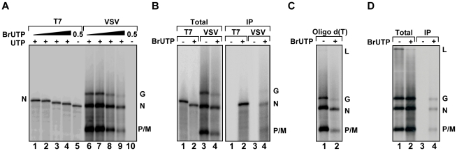 VSV RNA polymerase incorporates BrUTP during transcription in vitro and in vivo . ( A ) Incorporation of BrUTP into RNA synthesized in vitro . An autoradiograph of an acid agarose-urea gel is shown, depicting RNA transcribed by T7 RNA polymerase from a plasmid encoding VSV N (lanes 1–5) or synthesized by detergent activated virus in vitro (lanes 6–10) in the presence of increasing concentrations (0, 0.1, 0.5 or 1 mM) of BrUTP. The products of the reactions are indicated alongside the gel. ( B ) The samples of panel A were immune precipitated using an antibody raised against bromodeoxyuridine prior to acid-agarose gel electrophoresis. ( C ) The samples of panel A were isolated by oligo-dT chromatography prior to acid-agarose gel electrophoresis. ( D ) BSR-T7 cells were infected with wild-type VSV and, where indicated (+), transfected 4 hpi with BrUTP (5mM final concentration). Cells were exposed to [ 3 H]-uridine for 5 hours and RNA was isolated prior to acid-agarose gel electrophoresis. Where indicated (IP) the RNA was immunoprecipitated as in panel (B).