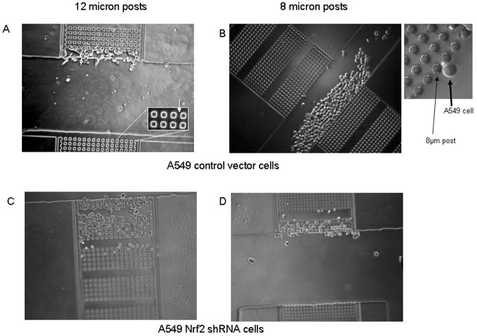 Morphological plasticity is increased in A549 cells stably expressing control or <t>Nrf2</t> shRNA. A microfabricated μ-Taur device, was used to assay a cell's ability to migrate through narrow 3-diamensional channels of various dimensions 16 hrs after loading. A) Migration and plasticity of cells stably expressing control non-silencing shRNA in channels with 12 micron posts. Inset shows close ups of posts; B) Migration and plasticity of cells stably expressing control non-silencing shRNA in channels with 8 micron posts. Inset shows close ups of posts; C D) Migration and plasticity of cells stably expressing Nrf2 shRNA in channels with 12 micron posts (C) or 8 micron posts (D).