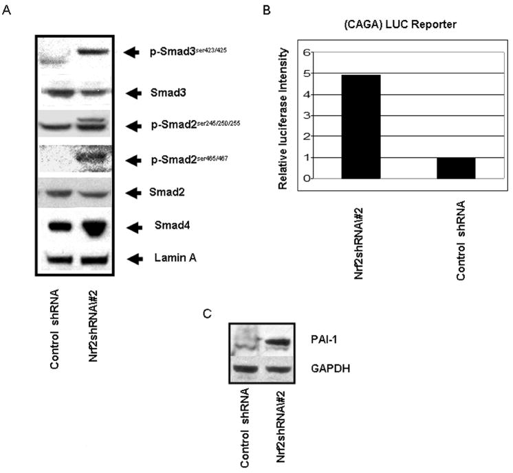 Increased R-Smad phosphorylation and CAGA reporter activity in cells expressing Nrf2 shRNA. A) Immunoblot of phospho R-Smads in control and Nrf2 shRNA containing A549 cells expressed from retrovirus; B) Transient co-transfection of a luciferase reporter under control of a synthetic CAGA promoter and a reporter expressing Renilla luciferase into control and Nrf2 shRNA containing A549 cells expressed from retrovirus. Luciferase activity was measured 72 hrs after transfection; C) Immunoblot of PAI-1 expression in control and Nrf2 shRNA containing A549 cells expressed from retrovirus.