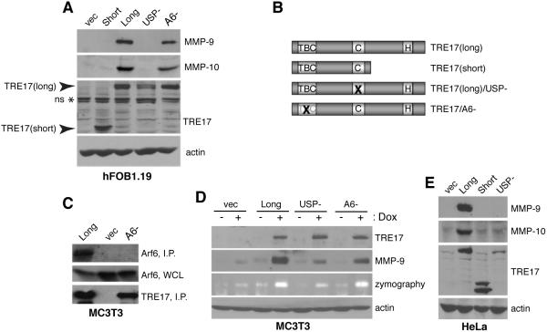 TRE17 induces secretion of MMP-9 and MMP-10 in a USP-dependent manner (A) hFOB1.19 human fetal osteoblasts were transfected with the indicated HA-tagged TRE17 constructs, then serum-starved. MMP-9 and MMP-10 in the CM were concentrated as described in Experimental Procedures, and detected by immunoblotting. Whole cell lysates were blotted for TRE17 (arrowheads indicate migration of TRE17(long) and TRE17(short) isoforms; asterisk denotes non-specific (ns) band recognized by antibody), and actin as a loading control. ( B) Domain structure of TRE17 alleles. TBC, TBC domain; C and H, cysteine and histidine subdomains of the USP domain. TRE17(long)/USP- and TRE17/A6- harbor point mutations in the indicated domains, as detailed in Experimental Procedures. (C) MC3T3 osteoblasts stably expressing HA-tagged TRE17(long) or TRE17(A6-) in a doxycycline (dox)-inducible manner were treated with dox (2 μg/ml) for 24 hrs. Cell extracts were immunoprecipitated with anti-HA, then blotted with anti-Arf6 (top panel) or anti-TRE17 (bottom panel). I.P., anti-HA immunoprecipitate; WCL, whole cell lysate. (D) Stable MC3T3 cell lines expressing the indicated TRE17 alleles were grown with or without dox for 24 hrs, then starved for 24 hrs in the continued absence or presence of dox. MMP-9 was purified from the CM then subjected to blotting, or zymography to detect gelatinolytic activity. (E) HeLa cells were transfected as indicated, and accumulation of MMP-9 and MMP-10 in the CM was monitored as in (A).