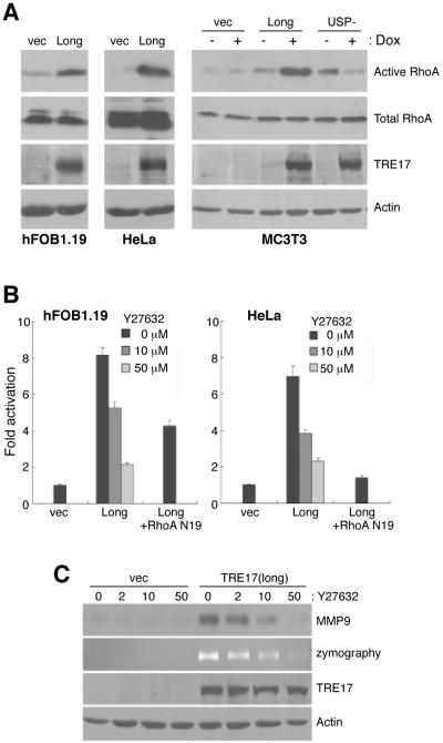 RhoA and ROCK partially mediate activation of NFκB by TRE17 (A) RhoA activity was measured in transiently transfected hFOB1.19 (left), HeLa (middle), and MC3T3 cell lines (right). Cell extracts were subjected to pulldowns using a GST fusion of the RhoA·GTP-binding domain (RBD) of Rhotekin, followed by blotting with anti-RhoA. Active RhoA, RBD pulldowns; total RhoA, whole cell lysates. (B) hFOB1.19 or HeLa were transfected with NFκB-luciferase and TRE17(long), in the absence or presence of dominant negative RhoA (RhoAN19) or Y27632, and subjected to luciferase assays. (C) Control or TRE17(long)/MC3T3 cells were treated with dox for 24 hrs, then starved with dox and the indicated concentration of Y27632 (μM) for 24 hrs. MMP-9 in the CM was detected by immunoblotting and zymography. Whole cell extracts were blotted to confirm TRE17 and actin levels.