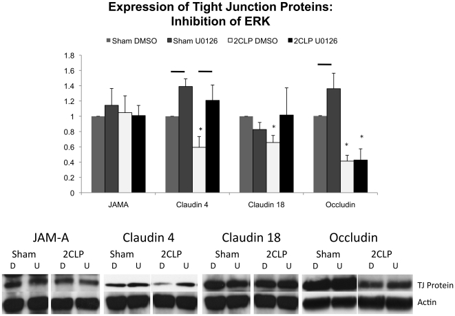 Expression of tight junction proteins are altered following 1 hour incubation with the ERK inhibitor U0126. Significant decreases in claudin 4, 18, and occludin are observed in DMSO control treated wells (*, p