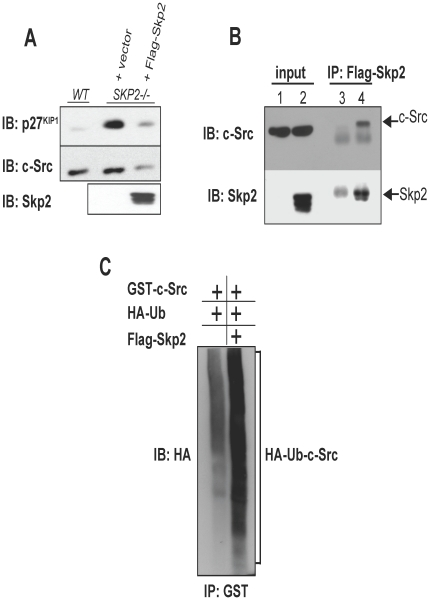 Validation of c-Src as a novel SCF SKP2 substrate. (A) SKP2 −/− MEFs were transduced with control (pBABEpuro) or Flag-Skp2-expressing retroviruses and Western blot analysis was used to assess the expression level of known SCF Skp2 substrate p27 Kip1 and putative substrate c-Src. (B) Endogenous c-Src associates with Skp2 in vivo . Anti-Flag antibodies were used to immunoprecipitate Flag-Skp2 from extracts prepared from SKP2 −/− MEFs transduced with control (lanes 1 and 3) or Skp2-expressing retroviruses (lanes 2 and 4). Association of c-Src with Skp2 was determined by Western blot analysis. The same blot was then re-probed with anti-Skp2 antibodies to verify immunoprecipitation. (C) Skp2 promotes c-Src ubiquitylation in vivo . HEK293T cells were co-transfected with plasmids that express GST-c-Src, HA-Ubiquitin, with or without Flag-Skp2. Extracts from cells were denatured, c-Src immunoprecipitated using anti-GST antibodies, and ubiquitylation detected by Western blotting with anti-HA antibodies.