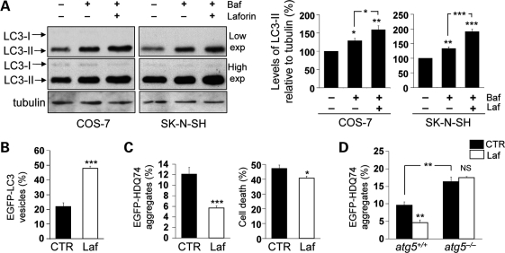 Wild-type laforin induces autophagy and facilitates the clearance of autophagy substrates. ( A ) COS-7 or SK-N-SH cells, transfected with 2 µg pcDNA3.1 (empty vector) or Myc-Laforin for 4 h, were treated with or without 400 nM bafilomycin A 1 in the last 4 h of the 24 h post-transfection period. Overexpression of wild-type laforin increased autophagosome synthesis, as analysed by immunoblotting with anti-LC3 antibody (upper gels: low exposure (exp.), lower gels: high exposure) and densitometric analysis of LC3-II levels relative to tubulin. ( B ) COS-7 cells, transfected with 0.5 µg EGFP-LC3 and either 1.5 µg pcDNA3.1 (empty vector) or Myc-Laforin for 4 h, were fixed and analysed for EGFP-LC3 vesicles at 24 h post-transfection. Overexpression of wild-type laforin increased the proportion of transfected (EGFP-positive) cells with EGFP-LC3 vesicles. ( C ) COS-7 cells, transfected with 0.5 µg EGFP-HDQ74 and either 1.5 µg pcDNA3.1 (empty vector) or Myc-Laforin for 4 h, were fixed and analysed for EGFP-HDQ74 aggregates and cell death at 48 h post-transfection. Overexpression of wild-type laforin reduced the percentages of tranfected (EGFP-positive) cells with mutant huntingtin aggregates and cell death, assessed by apoptotic nuclear morphology (see Materials and Methods). ( D ) atg5 +/+ and atg5 −/− MEFs, transfected with 0.5 µg EGFP-HDQ74 and either 1.5 µg pcDNA3.1 (empty vector) or Myc-Laforin for 4 h, were fixed and analysed for EGFP-HDQ74 aggregates at 48 h post-transfection. Overexpression of wild-type laforin reduced mutant huntingtin aggregates in atg5 +/+ MEFs, but not in atg5 −/− MEFs. atg5 −/− MEFs had increased aggregates compared with atg5 +/+ MEFs.