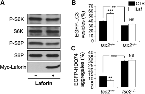 Wild-type laforin reduces mTOR activity to regulate autophagy. ( A ) COS-7 cells, transfected with 2 µg pcDNA3.1 (empty vector) or Myc-Laforin for 4 h, were analysed for mTOR activity at 24 h post-transfection by immunoblotting with anti-phospho-S6 kinase (P-S6K, Thr389) and anti-phospho-S6 ribosomal protein (P-S6P, Ser235/236) antibodies. Overexpression of wild-type laforin (detected with anti-myc antibody) reduced phosphorylation of S6K and S6P relative to the total proteins. ( B ) tsc2 +/+ and tsc2 −/− MEFs, transfected with 0.5 µg EGFP-LC3 and either 1.5 µg pcDNA3.1 (empty vector) or Myc-Laforin for 4 h, were fixed and analysed for EGFP-LC3 vesicles at 24 h post-transfection. Overexpression of wild-type laforin increased the proportion of cells with EGFP-LC3 vesicles in tsc2 +/+ MEFs, but not in tsc2 −/− MEFs. tsc2 −/− MEFs had a lower proportion of cells with EGFP-LC3 vesicles compared with tsc2 +/+ MEFs. ( C ) tsc2 +/+ and tsc2 −/− MEFs, transfected with 0.5 µg EGFP-HDQ74 and either 1.5 µg pcDNA3.1 (empty vector) or Myc-Laforin for 4 h, were fixed and analysed for EGFP-HDQ74 aggregates at 48 h post-transfection. Overexpression of wild-type laforin reduced mutant huntingtin aggregates in tsc2 +/+ MEFs, but not in tsc2 −/− MEFs. tsc2 −/− MEFs had increased aggregates compared with tsc2 +/+ MEFs.