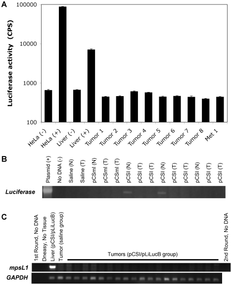 Luciferase activity and PCR analysis of tumors from mice in the pCSI/pLiLucB group provide no evidence of ϕC31 integrase activity. ( a ) Protein extracts were prepared and the luciferase activity was measured in absolute counts per second (CPS). Controls included HeLa cells given FuGene 6 alone [HeLa (-)] or the CMV-luciferase plasmid pNBL2 via FuGene 6 [HeLa (+)], the normal-appearing part of the tumor-ridden liver taken from either a saline-injected mouse [Liver (-)] and pCSI/pLiLucB-injected mouse [Liver (+)]. Eight tumor samples (Tumor 1 through 8) and one metastasis (Met 1) that were obtained from four animals were also analyzed. The error bars give standard error of the mean for four replicates of each sample. ( b ) PCR analysis to detect the pLiLucB plasmid by amplification of the luciferase transgene. Plasmid DNA (20 ng pLiLucB) and no DNA controls show specific amplification of luciferase only in the reaction containing plasmid. One mouse each from the saline-only and pCSmI/pLiLucB groups was analyzed for transgene presence in normal-appearing (N) and tumor (T) tissues (none found). Three mice in the pCSI/pLiLucB group were analyzed for transgene presence in normal-appearing (N) and tumor (T) tissues. Luciferase could be detected in 2/3 normal-appearing liver samples and none of the tumors. ( c ) PCR analysis for integration at the mpsL1 pseudo attP site was done on 18 tumors (lanes 5 through 22) and one metastasis (lane 23) taken from nine mice given pCSI/pLiLucB by hydrodynamic injection. Controls included no DNA (1 st round, lane 1 and 2 nd round, lane 25), and a DNeasy performed on no tissue (lane 2) to show no contamination from the DNA isolation procedure. Normal-appearing liver from a mouse in the pCSI/pLiLucB group (lane 3) served as the positive control. DNA isolated from a tumor in the saline-only group served as the negative control (lane 4). PCR for the GAPDH gene showed that sufficient DNA was added to all reactions. Seven tumors and one metastasis were subjected to the analysis in both a and c . Six tumors were analyzed by all assays ( a , b and c ).