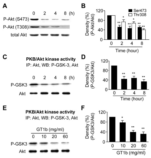 Reduction in phosphorylation/activation of Akt by GT1b . (A) Phosphorylation of Akt was detected by immunoblotting with phospho-Akt (Ser473) and phospho-Akt (Thr308) antibody in cultures treated with 20 μg/ml GT1b at indicated time points. (B) The histogram shows quantification of phospho-Akt levels. (C-F) The activity of Akt was measured using immunoprecipitated Akt, and then it was mixed with the GSK-3α/β fusion protein (1 μg/assay). Phosphorylated GSK-3α/β was detected by immunoblotting with phospho-GSK-3α/β antibody. (D,F) The histograms show quantification of phospho-GSK-3α/β levels of C and E, respectively. The values represent the mean ± SEM of four to five separate experiments; *P