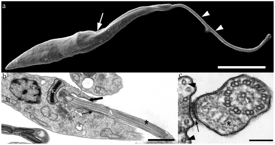 Electron micrographs of epimastigote form of T. cruzi . (a) Scanning electron micrograph of T. cruzi . The flagellum (arrowheads), which emerges from the flagellar pocket (arrow), is attached to the cell body along the flagellar attachment zone (FAZ) region. (b–c) Transmission electron micrographs of ultrathin sections of epimastigote forms. The axoneme (A) and paraflagellar rod (*) are seen in both longitudinal (b) and transversal (c) sections. In longitudinal sections, it is clear that the flagellum emerges from the flagellar pocket (thick arrow). FAZ region (arrows) and subpellicular microtubules (arrowheads in c) can also be observed. (N) Nucleus, (K) kinetoplast, (G) Golgi complex, (M) mitochondria. Bars: a – 5 µm; b – 1 µm; c – 100 nm.