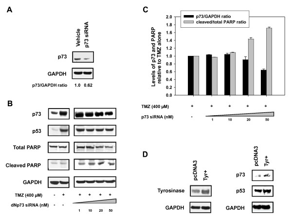 Knockdown of p73 with <t>siRNA</t> restores PARP cleavage . Western blot analysis after <t>transfection</t> with p73 siRNA in DB-1 cell lines A) at basal level and B) after TMZ treatment and C) Quantification of p73 to GAPDH and Cleaved PARP relative to uncleaved PARP. D) Transient transfection of tyrosinase DNA in DB-1 cell lines and western blot analysis of p53 and 73 expression.
