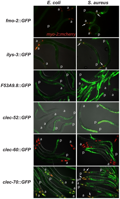 The C. elegans host response to S. aureus is induced in the intestinal epithelial cells. Transcriptional reporters using upstream sequences to fmo-2, ilys-3 , F53A9.8, clec-52, clec-60 , and clec-70 fused to GFP were induced in the intestinal epithelial cells after 24 h of S. aureus NCTC8325 infection (left panels) compared to parallel E. coli OP50 - fed controls (right panels). Despite strong induction of fmo-2 and ilys-3 as measured by qRT-PCR, the corresponding GFP reporters exhibited low levels of expression; this could be due to their low basal expression on E. coli (not shown). Red, myo-2::NLS::cherry coinjection marker expressed in the pharynx in the head. A fold induction of 1 indicates no induction. a, anterior end; p, posterior end. Arrows indicate pharyngeal expression. ilys-3 was also expressed in the pharynx, in an unidentified cell superimposed on the pharynx, and in unidentified cells, possibly epithelial cells, in the vulva ( Fig. S6A,B ). clec-70 was also expressed in unknown cells in the pharynx ( Fig. S6C ) and in the uterine muscle ( Fig. S6D ), but only in one transgenic line of three. F53A9.8 was also expressed in a group of cells surrounding the rectum, possibly the rectal gland cells that secrete molecules into the rectal lumen ( Fig. S6G, H ).