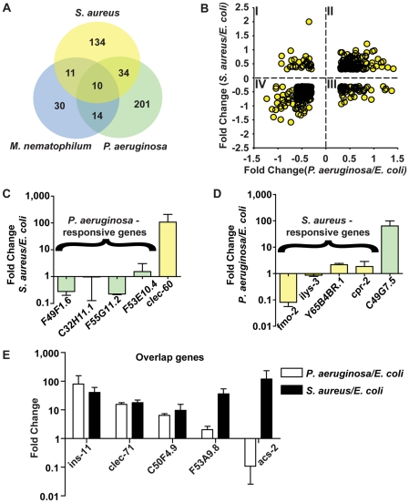 The C. elegans host response is comprised of pathogen-specific and -shared components. A . Comparison of genes induced 2-fold or higher ( p ≤0.01) upon infection with S. aureus for 8 h, P. aeruginosa for 8 h, and M. nematophilum for 6 h. Gene identities are presented in Table 3 . B . Quadrant analysis of genes with expression changes both during S. aureus and P. aeruginosa infection. X axis, Fold Change for each gene during P. aeruginosa infection (log 10 values). Y axis, Fold Change for each gene during S. aureus infection (log 10 values). C . qRT-PCR analysis of P. aeruginosa –induced genes during S. aureus infection. D . qRT-PCR analysis of S. aureus –induced genes during P. aeruginosa infection. Transcript levels were measured in synchronized young adult wild-type animals feeding on non-pathogenic E. coli OP50 or infected with pathogen for 8 h ( S. aureus NCTC8325) or 4 h ( P. aeruginosa PA14). Results are the average of three biological replicates, each replicate measured in duplicate and normalized to a control gene, expressed as the ratio of the corresponding P. aeruginosa - induced levels and the basal E. coli levels. E . qRT-PCR analysis of overlap genes during S. aureus or P. aeruginosa infection. Transcript levels were measured in synchronized young adult wild-type animals feeding on non-pathogenic E. coli or infected for 8 h or 4 h, respectively (on P. aeruginosa , these genes were predicted to change by 4 h as well as 8 h). Results are the average of three biological replicates, each replicate measured in duplicate and normalized to a control gene, expressed as the ratio of the corresponding pathogen - induced levels and the basal E. coli levels. Previous microarray analysis wrongly predicted acs-2 to be induced by P. aeruginosa , the only example of this kind that we have found.