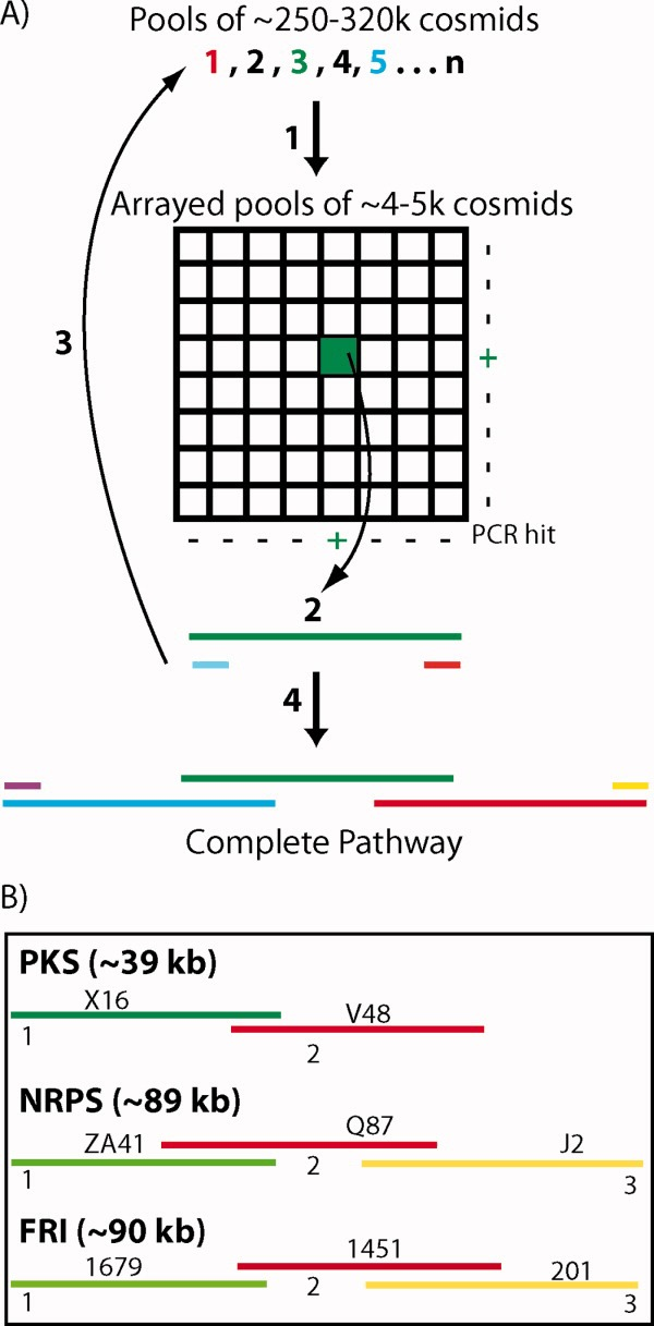 (A) PCR with degenerate primers was used to identify biosynthetic genes of interest in large library pools (1) and then to subsequently locate these same sequences in arrays of smaller library aliquots (+). Whole cell PCR of serially diluted smaller library aliquots was used to recover individual cosmids of interest (2). Overlapping clones were iteratively recovered (3) until complete biosynthetic pathways were identified (4). (B) The topology of the overlapping clones that are predicted to comprise the eDNA derived PKS, NRPS, and FRI gene clusters is shown.