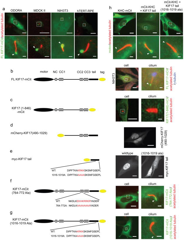 The KIF17 CLS is necessary and sufficient for ciliary localization. ( a ) Odora, MDCK II, NIH3T3, and hTERT-RPE cells expressing full length KIF17-mCit (green) were fixed and stained for acetylated <t>tubulin</t> to mark cilia (red). Top row, images of entire cells; bottom row, higher magnification of cilia in boxed areas. White arrowheads indicate distal tips of cilia. ( b ) Left, schematic of full length human KIF17. NC, neck coil; CC, coiled-coil. Right, NIH3T3 cells expressing KIF17-mCit (green) were fixed and stained for acetylated tubulin (red) to mark cilia and <t>γ-tubulin</t> (blue) to mark the basal body. ( c-g ) Schematics of truncated and mutant KIF17 constructs (left) and their localization in Odora cells (right). Cells expressing the indicated truncated or mutant KIF17 motors (green) were fixed and stained for acetylated tubulin (red in c,f,g) or the myc tag (white in d). ( h ) Odora cells expressing full length KHC-mCit or KHC fused with the wildtype or mutant versions of the KIF17 tail were fixed and stained with antibodies to acetylated tubulin (red). Scale bars throughout figure are either 10 μm for images of entire cell or 1 μm for cilia.