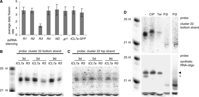Rdr3 is involved in accumulation of endogenous siRNAs. ( A ) Average division rate of RDR1-RDR4 ( R1-4 ) and control ( ND169 ; ICL7a ; A 51 ; GFP ) silenced cells (±standard deviation). Single cells were grown in silencing medium and individualized every day. Reduction of division rate of RDR3 silenced cells started on the fourth day of the experiment. ( B and C ) Rdr3 dependency of endogenous siRNAs. Total <t>RNA</t> was isolated on days 3, 5 and 9 of RDR3 ( R3 ) and ICL7a (control) silencing. Northern blots were probed with two adjacent 50-nt oligonucleotides corresponding to endogenous siRNAs produced from an intergenic region of scaffold 22. Probes were orientated top (B) and bottom (C), relative to transcription of the 5′-marginal ORF. The lower panels show hybridization to glutamine tRNA as a loading control. ( D ) Properties of 5′- and 3′-ends of endogenous siRNAs. Removal of 5′ phosphates with <t>CIP</t> alkaline phosphatase resulted in a ∼0.5-nt slower migration in comparison the untreated sample. Endogenous siRNAs showed sensitivity to Terminator exonuclease (Ter) and were sensitive to periodate treatment and subsequent β-elimination (P/β), indicated by ∼1.5-nt faster migration (upper blot). The second P/β-lane (right) represents the latter one with increased contrast. Controls (lower blot) were added in the same way as described for Figure 3 C. The lower panels show hybridization to glutamine tRNA as a loading control.
