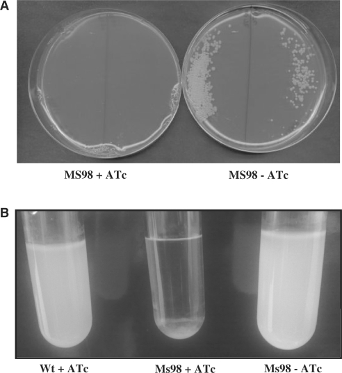 Characterization of the M. smegmatis ftsZ mutant MS98. ( A ) MS98 was plated on Middlebrook 7H10 medium with or without 50 ng/ml ATc. ( B ) MS98 and its parental wild-type strain were grown in Middlebrook 7H9 with or without ATc.