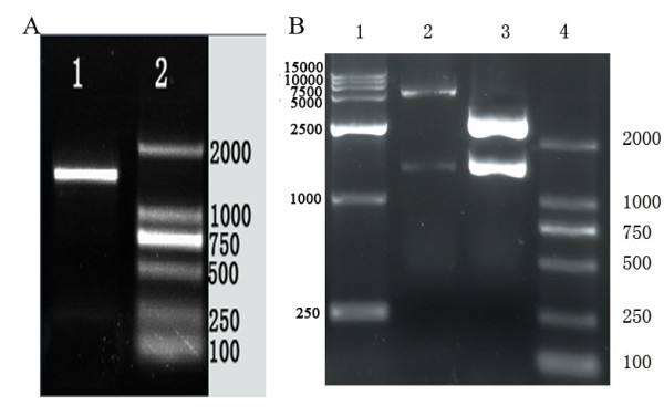 PCR amplification of DPV gE gene and identification of the recombination vector . A. Result of PCR amplification for DPV gE gene. Lane 1, the amplified product of DPV gE (about 1490bp); Lane 2, DNA marker 2000; B. Identification of the recombination vector pMD18/DPV-gE and pET32a/DPV-gE by restriction enzymes digestion. Lane 1, DNA marker 15000; Lane 2, the recombinant plasmid pET32a/DPV-gE was digested with EcoRI and XhoI (the PCR products with 1490 bp and the pET32a vector about 5,900bp) Lane 3, the recombinant plasmid pMD18/DPV-gE was digested with EcoRI and XhoI (the PCR products with 1490 bp and the pMD18-T vector about 2,700bp); Lane 4, DNA marker 2000.