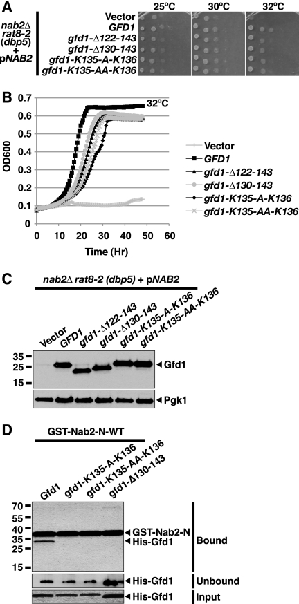 """gfd1 mutants that are impaired for binding to Nab2 show only partial suppression of rat8-2 (dbp5 ) temperature-sensitive growth. A , gfd1 mutants with alanine insertions ( gfd1-Lys 135 -A-Lys 136 ; gfd1-Lys 135 -AA-Lys 136 ) or deletions ( gfd1 -Δ 122–143 ; gfd -Δ 130–143 ) in the Nab2-binding α-helix only partially suppress the temperature-sensitive growth of rat8-2 (dbp5 ) cells. rat8-2 (dbp5 ) cells containing vector alone, GFD1 , gfd1 -Δ 122–143 , gfd1 -Δ 130–143 , gfd1 -Lys 135 -A-Lys 136 , or gfd1-Lys 135 -AA-Lys 136 2μ TRP1 test plasmids were grown to saturation, serially diluted in 10-fold dilutions, and spotted on Trp − minimal medium plates. Plates were grown at 25, 30, and 37 °C. B , growth curve analysis of gfd1 mutants confirms that they only partially suppress rat8-2 (dbp5 ) temperature sensitivity. rat8-2 (dbp5 ) cells containing GFD1 or gfd1 mutant 2μ TRP1 test plasmids were grown to saturation and diluted, and their optical density ( OD ) was measured at A 600 for 48 h as described under """"Experimental Procedures."""" C , gfd1 mutants are overproduced to the same level. To examine the expression levels, rat8-2 (dbp5 ) cells containing vector alone, GFD1 , or gfd1 variant plasmids were grown at 32 °C, and whole cell lysates prepared from these cells were analyzed by immunoblotting with a polyclonal anti-Gfd1 antibody. As a loading control, Pgk1 protein levels in each lysate were detected with a monoclonal anti-Pgk1 antibody. D , gfd1 mutants with alanine insertions or deletions in the Nab2-binding α-helix do not bind to the Nab2-N. Recombinant GST-Nab2-N-wild-type was incubated with recombinant His-tagged Gfd1 wild-type (Gfd1), His-tagged gfd1 alanine insertion mutants (gfd1-Lys 135 -A-Lys 136 ; gfd1-Lys 135 -AA-Lys 136 ), or His-tagged gfd1 deletion mutant (gfd1-Δ130–143) and glutathione-Sepharose beads as described under """"Experimental Procedures."""" Bound fractions were analyzed by SDS-PAGE and Coomassie Blue staining. Unbound fractions were analyzed by """