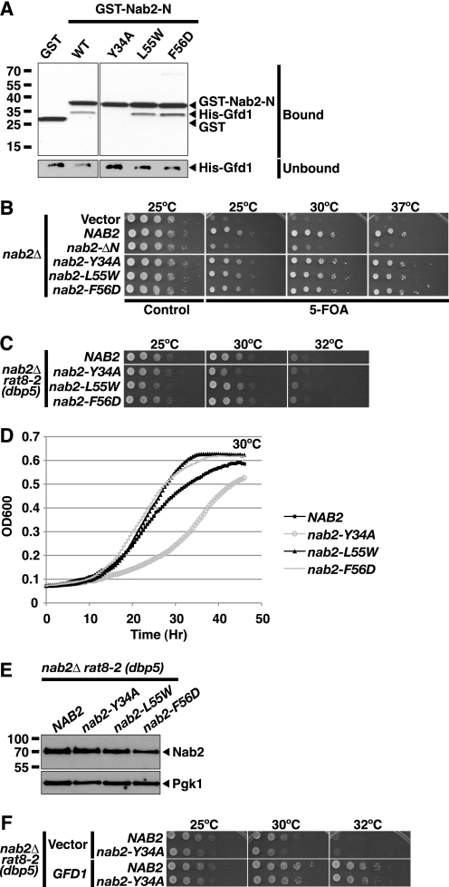 """nab2-Y34A shows impaired binding to Gfd1 and interacts genetically with rat8-2 (dbp5 ). A , the Nab2-N mutant nab2-Y34A does not interact with Gfd1 in vitro , but Nab2-N mutants L55W and F56D retain their ability to bind Gfd1 in vitro . Recombinant GST, GST-Nab2-N-wild-type (WT), or GST-Nab2-N mutant (Y34A, L55W, or F56D) was incubated with recombinant His-tagged Gfd1 (His-Gfd1) and glutathione-Sepharose beads as described under """"Experimental Procedures."""" Bound fractions were analyzed by SDS-PAGE and Coomassie Blue staining. Unbound fractions were analyzed by immunoblotting with anti-His antibody. B , nab2-Y34A cells are viable and grow similarly to wild-type NAB2 cells. nab2 Δ cells maintained by a NAB2 URA3 plasmid and containing vector alone, NAB2 , nab2 -Δ N , nab2-Y34A , nab2-L55W , or nab2-F56D LEU2 test plasmids were grown to saturation, serially diluted in 10-fold dilutions, and spotted on control and 5-fluoroorotic acid ( 5-FOA ) plates. Cells were grown at 25, 30, and 37 °C. C , rat8-2 (dbp5 ) nab2-Y34A cells have a slow growth phenotype. nab2 Δ rat8-2 (dbp5 ) cells containing NAB2 , nab2-Y34A , nab2-L55W , or nab2-F56D LEU2 test plasmids as the sole copy of NAB2 were grown to saturation, serially diluted in 10-fold dilutions, and spotted on Leu − minimal medium plates. Cells were grown at 25, 30, and, 32 °C. D , growth curve analysis of rat8-2 (dbp5) nab2-Y34A cells confirms that they grow more slowly than rat8-2 (dbp5) NAB2 cells. rat8-2 (dbp5 ) nab2 Δ cells carrying NAB2 , nab2-Y34A , nab2-L55W , or nab2-F56D plasmids as the sole copy of Nab2 were grown to saturation and diluted, and their optical density ( OD ) was measured at A 600 for 46 h as described under """"Experimental Procedures."""" E , nab2 mutants are expressed at similar levels. To examine the protein level of each nab2 variant, rat8-2 (dbp5 ) cells containing NAB2 or nab2 variant plasmids were grown at 30 °C, and whole cell lysates prepared from these cells were analyzed by immunoblotting with """
