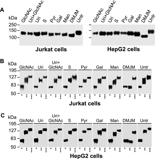 gp120 glycosylation is influenced by metabolic manipulations. Jurkat and HepG2 cells stably transfected with gp120-encoding DNA plasmid were cultured in the presence of N -acetylglucosamine, 80 m m (GlcNAc); uridine, 5 m m ( Uri ); N -acetylglucosamine 80 m m plus uridine 5 m m (Uri+GlcNAc); succinate, 20 m m (S), pyruvate, 4.5 m m (Pyr); Gal, 50 m m ; Man, 50 m m ; DMJM, 800 μ m ; or mock-treated ( Untr , negative control). gp120 was purified using Ni-NTA-agarose, separated by 10% SDS-PAGE, blotted, and developed with anti-V5-tag antibody ( A ). Purified gp120 glycoproteins were treated with PNGase F (*), Endo H (**), or mock treated (***), and the resultant preparations were analyzed by SDS-PAGE and Western blotting with anti-V5-tag antibody. gp120 was from Jurkat ( B ) and HepG2 cells ( C ). Representative results from two experiments are shown.