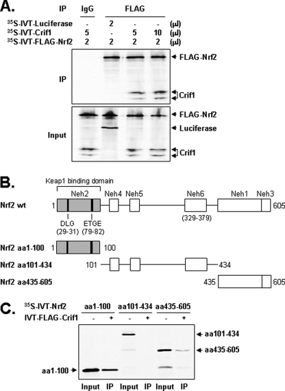 """CRIF1 interacts with both N- and C-terminal sequences of NRF2. A, IVT CRIF1 and FLAG-NRF2 proteins interact. 35 S-Labeled proteins (see """"Experimental Procedures"""") were mixed, immunoprecipitated with an anti-FLAG antibody, subjected to SDS-PAGE, and exposed to x-ray film. These experiments were repeated three times and yielded similar results; a representative result is shown. 35 S-Labeled IVT luciferase was used as the negative control. B, schematic of the NRF2 deletion mutants used for the experiments in C. C, CRIF1 interacts with both N- and C-terminal regions of NRF2. Mixtures of unlabeled IVT full-length FLAG-CRIF1 and three 35 S-labeled NRF2 deletion mutants were immunoprecipitated with the anti-FLAG antibody, subjected to SDS-PAGE, and exposed to x-ray film."""