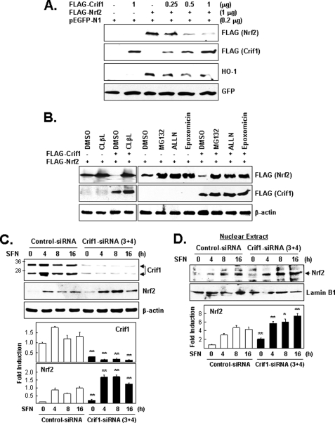 CRIF1 regulates NRF2 protein levels via proteasome-mediated degradation. A, effect of CRIF1 overexpression on NRF2 protein levels. Cells (HEK293) were co-transfected for 24 h with three expression vectors (constant amounts of FLAG-NRF2 and pEGFP-N1 (the control vector) and increasing amounts of FLAG-CRIF1) and were analyzed on WB. B, effect of proteasomal inhibitors on CRIF1-driven down-regulation of NRF2 protein levels. Cells co-transfected as in A with the indicated expression vectors were incubated for an additional 4 h with proteasomal inhibitors (clasto-lactacystin β-lactone ( CLβL ) (10 μ m ), MG132 (10 μ m ), ALLN (50 μ m ), and epoxomicin (1 μ m )) and then analyzed by WB. Exogenous FLAG-CRIF1 and FLAG-NRF2 were identified by their different migration distances. C, effects of CRIF1 knockdown on NRF2 protein levels. Cells (MCF-7) pretreated with siRNA (control versus CRIF1–3 and -4) for 72 h were treated with SFN (5 μ m ) and harvested at the indicated times. Total cell lysates were used for WB analysis with anti-NRF2 and anti-CRIF1 mouse monoclonal antibodies. β-Actin was used as a loading and transfer control. D, nuclear extracts from cells in C were subjected to WB analysis. Lamin B1 was used as a control for nuclear fractionation and equal loading. The results of WB image quantification of triplicate experiments are shown as bar graphs on the bottom panels of C and D .