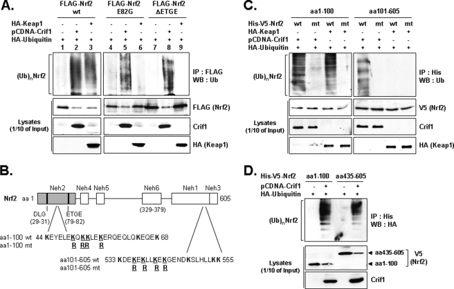 CRIF1 promotes NRF2 ubiquitination. A, total lysates of COS-1 cells co-transfected for 24 h with the expression vector combinations (encoding full-length NRF2) indicated at the top of the figure were divided and then analyzed either directly on WBs (1/10 of the lysates) or first immunoprecipitated with anti-FLAG antibody and then used for standard WB analysis with the antibodies indicated in the right-hand margin. B, schematic showing the amino acid composition of the N- and C-terminal lysine clusters and their locations relative to previously described NRF2 landmarks. C, cells (COS-1) co-transfected for 24 h with indicated expression vectors, including NRF2 mutants ( mt ) with four lysine to arginine residues, were subjected to IP and WB analysis as described in A. wt , wild type. D, COS-1 cells were co-transfected for 24 h with the indicated expression vectors. The NRF2 deletion mutant encoding expression vectors encoded two tags, His and V5, and CRIF1 was in pCDNA and ubiquitin was tagged with HA. Total lysates were immunoprecipitated with the anti-His (NRF2) antibody and analyzed as in A and C with the antibodies indicated in the right-hand margin . (Ub) n NRF2 indicates polyubiquitinated forms of NRF2.