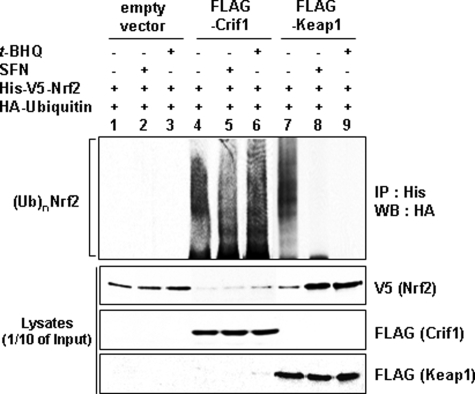 CRIF1-driven NRF2 ubiquitination and degradation are redox-independent. Total lysates of MCF-7 cells co-transfected with the indicated expression vectors for 24 h were treated with either 100 μ m of t -BHQ or 5 μ m of SFN for 6 h and were immunoprecipitated with an anti-His antibody (for NRF2) followed by analysis on WBs with anti-HA antibody (for ubiquitin). One-tenth of the total cell lysates was used to determine the expression level of each transfected DNA plasmid by WB analysis. Anti-V5 antibody was used to detect exogenously expressed NRF2, and the anti-FLAG antibody was used to detect either CRIF1 or KEAP1. The two proteins, FLAG-CRIF1 and FLAG-KEAP1, were identified by their molecular weights. FLAG-CRIF1 and FLAG-KEAP1 were detected at ∼30 and 70 kDa, respectively.