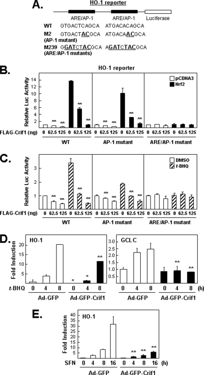 """Overexpression of CRIF1 represses NRF2 target gene expression. These experiments used luciferase reporter plasmids that contain AREs from the HO-1 enhancer. A, schematic of the HO-1 gene enhancer region present in the reporter plasmid used in B and C . The two AREs have overlapping 12- O -tetradecanoylphorbol-13-acetate-response elements (TRE or AP-1-binding sites). The M2 mutant contains 2 bp changes in each AP-1 site, leaving the ARE core sequence (TGAC nnn GC) intact. The M239 mutant contains multiple base pair changes that affect both ARE core sequences and the AP-1-binding sites. WT , wild type. B, effects of CRIF1 overexpression on basal and induced expression from wild-type and mutant HO-1 reporter plasmids. Total lysates of MCF-7 cells transfected with various DNA plasmids for 24 h as indicated were measured for luciferase ( Luc ) activity. C, effects of CRIF1 overexpression on t -BHQ-induced HO-1 luciferase reporter. Cells transfected with HO-1 reporter and FLAG-CRIF1 (except NRF2) for 16 h were incubated with either DMSO (control vehicle) or t -BHQ (100 μ m ) for 24 h before harvesting for measuring luciferase activity. D and E, effects of CRIF1 on NRF2 target gene expression. Total RNA was isolated from the MCF-7 cells infected with control Ad-GFP versus Ad-GFP-CRIF1 for 24 h and were treated with 100 μ m of t -BHQ ( D ) or 5 μ m of SFN ( E ). Real time PCR for HO-1 and GCLC was performed as described under """"Experimental Procedures."""""""