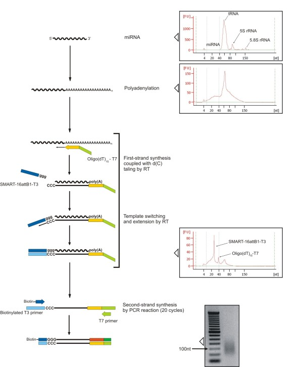 Schematic representation of miRNA labeling method for bead based quantification . All protocol steps and quality checking with Agilent Bioanalyzer 2100 and gel electrophoresis (2% agarose) are schematically represented: starting material (RNA