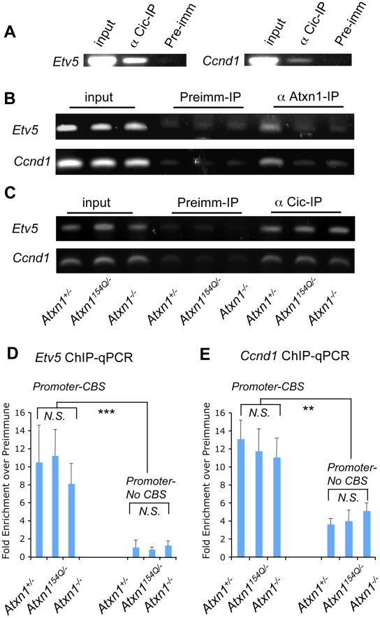 Chromatin immunoprecipitation (ChIP) reveals co-occupancy at the promoters of Cic target genes by Atxn1 and Cic. (A) ChIP using Cic antisera confirmed Cic binding at the promoter of two direct targets of Capicua, Ccnd1 and Etv5 , that were up-regulated in the Atxn1 −/− and Atxn1 154Q/+ cerebella. (B) ChIP using Atxn1 anti-sera in cerebellar extracts from Atxn1 +/− , Atxn1 154Q/− , and Atxn1 −/− mice reveals a signal in mice expressing only wild-type ( Atxn1 +/− ) but not polyQ-Atxn1 ( Atxn1 154Q/− ) compared to negative controls (pre-immune sera, and Atxn1 −/− ) (C) ChIP as in (B), this time using Cic antibody. In contrast to (B), Cic is present at comparable levels at the target promoters in Atxn1 +/− , Atxn1 154Q/− , and Atxn −/− mice. All ChIP assays were repeated three times on independent samples, representative results shown. (D) ChIP followed by quantitative PCR (ChIP-qPCR) on the promoter of Etv5 confirms that the proportion of immunoprecipitated DNA by Cic antibody is comparable in all three genotypes (as seen in C). A region containing two Capicua binding sites (promoter-CBS) of Etv5 is more enriched by Cic antibody than a region lacking CBSs (promoter-no CBS) compared to preimmune sera. (E) ChIP-qPCR on the promoter of Ccnd1 also shows similar enrichment of immunoprecipitated DNA by Cic antibody in all three genotypes (as seen in C). ChIP-qPCR using primers designed for a region within 100 bps of the CBS in the Ccnd1 promoter (which is highly conserved across species) show more Cic binding than primers designed for a poorly conserved region further downstream (∼400 bps) of the CBS at the promoter of Ccnd1 , compared to preimmune sera. ChIP-qPCR experiments in (D) and (E) were performed in triplicate on three independent sets of samples (3 cerebella per genotype) using SYBR Green Dye. N.S. = not significant, ** p