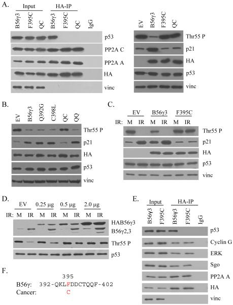 Mutant B56γ3 is unable to promote p53 Thr55 dephosphorylation. (A) Lysates of U2OS cells transfected with HA-tagged B56γ3, F395C, or Q392G/C398L (QC) mutant B56γ3, were either immunoprecipitated with anti-HA antibody, then analyzed by western blot against p53, PP2A A and C, HA, and vinculin (vinc) (left); or analyzed for p53 Thr55 phosphorylation, p21 protein levels, HA, p53, and vinculin (vinc) (right). Amino acid sequence of the p53-interaction domain of B56γ showing the cancer-derived F395C mutation is present on the top. (B) Lysates of U2OS cells transfected with empty vector control (EV), HA-tagged B56γ3, Q392G, C398L, Q392G/C398L (QC), or Q400S/Q401S (QQ) mutant B56γ3 were analyzed for p53 Thr55 phosphorylation, p21 protein levels, HA, p53, and vinculin (vinc). (C) Lysates of U2OS cells transfected with empty vector control (EV), HA-tagged B56γ3, or F395C mutant B56γ3 and either mock treated (M) or treated with ionizing radiation (IR) were analyzed for p53 Thr55 phosphorylation, HA, p53, and vinculin (vinc). (D) Lysates of U2OS cells transfected with varying amounts of HA-tagged F395C mutant B56γ3, were either mock (M) treated or treated with ionizing radiation (IR), then analyzed by western blot against endogenous (endo) and exogenous (exo) B56γ, as well as p53 and Thr55 phosphorylation. (E) Lysates of U2OS cells transfected with HA-tagged B56γ3 or F395C were immunoprecipitated with anti-HA antibody, then analyzed by western blot against p53, Cyclin G, ERK, Sgo, PP2A A, HA, and vinculin (vinc) antibodies.