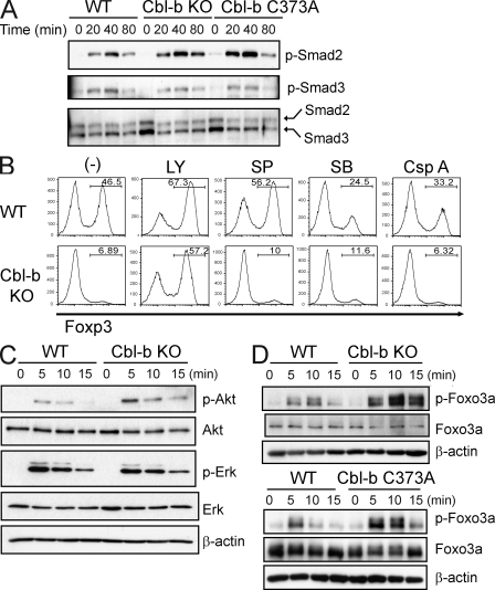 PI3K–Akt–Foxo3a activation in Cbl-b–mediated regulation of Foxp3 + iT reg cells. (A) Phosphorylation of Smad proteins in naive CD4 + T cells from WT, Cbl-b KO, and Cbl-b C373A mice. Naive CD4 + T cells were stimulated with anti-CD3 and anti-CD28 in the presence of TGF-β for indicated time periods. Whole-cell lysates were immunoblotted with anti–phospho-(p)-Smad2, or anti–p-Smad3, and reprobed with anti-Smad2/3. Smad2, 60 kD; Smad3, 52 kD. Data are representative of three independent experiments. (B) Naive CD4 + T cells from WT and Cbl-b KO mice were stimulated with anti-CD3 and anti-CD28 together with TGF-β in the absence or presence of the PI3K inhibitor LY294002 (LY), the JNK inhibitor SP600125 (SP), the p38 inhibitor SB203580 (SB), or the calcineurin inhibitor cyclosporine A (Csp A). Foxp3 expression was assessed by FACS analysis after 5 d. The percentages of Foxp3-expressing cells are shown. Data are representative of three independent experiments. (C) Naive CD4 + T cells were stimulated with anti-CD3 and anti-CD28 for the indicated time periods. Whole-cell lysates were immunoblotted with anti–p-Akt, anti-Akt, anti–p-Erk, anti-Erk2, and <t>anti–β-actin.</t> Akt, 56 kD; Erk, 42/44 kD; β-actin, 45 kD. Data are representative of at least three independent experiments. (D) Regulation of Foxo3a phosphorylation by Cbl-b E3 ligase. Naive CD4 + T cells from WT and Cbl-b KO mice (top) or WT and Cbl-b C373A mice (bottom) were stimulated with anti-CD3 and anti-CD28 for indicated time periods. Whole-cell lysates were immunoblotted with anti–p-Foxo3a, anti-Foxo3a, and anti–β-actin. Foxo3a, 95 kD; β-actin, 45 kD. Data are representative of at least three independent experiments.