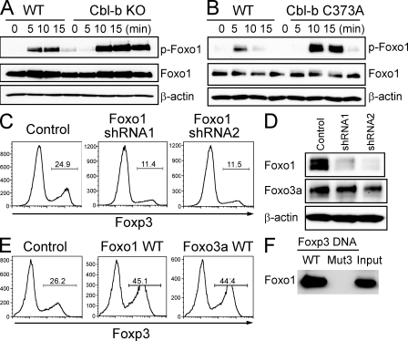 Foxo1 regulates Foxp3 expression. (A and B) Naive CD4 + T cells from WT and Cbl-b KO mice (A) or WT and Cbl-b C373A mice (B) were stimulated with anti-CD3 and anti-CD28 for indicated time periods. Whole-cell lysates were immunoblotted with anti–p-Foxo1, anti-Foxo1 (75 kD), and anti–β-actin (45 kD). Data are representative of three independent experiments. (C) Naive CD4 + T cells were stimulated with anti-CD3 and anti-CD28 for 2 d and transduced with retroviruses encoding Foxo1-specific shRNAs (shRNA1 or shRNA2) or with empty LMP vector (control). After 24 h, TGF-β was added and Foxp3 expression was assessed 3 d later by FACS analysis. Cells were treated with puromycin for last 48 h. The percentages of Foxp3-expressing cells in GFP-positive cells are shown. Data are representative of three independent experiments. (D) Cell lysates in (C) were immunoblotted with anti-Foxo1 (75 kD), anti-Foxo3a (95 kD), and anti-β-actin (45 kD). Data are representative of three independent experiments. (E) Naive CD4 T cells were stimulated with anti-CD3 and anti-CD28 for 2 d and retrovirally transduced with control-IRES-GFP (GFP), Foxo1 WT-IRES-GFP (Foxo1 WT), or Foxo3a WT-IRES-GFP (Foxo3a WT). After infection, TGF-β was added and Foxp3 expression was assessed 3 d later by FACS analysis. The percentages of Foxp3-expressing cells in GFP-positive cells are shown. Data are representative of four independent experiments. (F) Pull-down assay of Foxo1 binding to WT or mutated (Mut3) sequence of the Foxp3 promoter. DNA pull-down assay was performed using biotinylated DNA probes. The precipitates were subjected to SDS-PAGE, followed by immunoblotting with anti-Foxo1 (75 kD). Data are representative of at least three independent experiments.