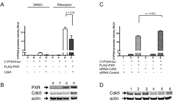 Cdk5 activation attenuates PXR-mediated gene expression . (A) Overexpression of Cdk5 reduces PXR-mediated CYP3A4 promoter activity. HepG2 was transiently co-transfected with indicated plasmids as well as CMV- renilla luciferase plasmid (as a transfection control). In cases wherein Cdk5, FLAG-PXR, or CYP3A4-luc constructs were not used, a pcDNA3 vector was used instead. Equal amount of each plasmid (for a total of 1 μg combined) was used to transfect 8 × 10 5 cells seeded in 6-well plates. Cells were treated with 5 μM rifampicin or DMSO for 24 h after transfection before Dual-glo luciferase assay. CYP3A4 promoter activity (expressed as relative luciferase unit, or RLU) was normalized by using activity of the CMV- renilla . The values represent the average of 8 independent experiments, with the standard deviation denoted as bars. The significance of the difference between datasets was determined by using the Student's t test. (B) Expression of PXR and Cdk5. Transfections were performed as described in (A). Western blotting shown was from a representative experiment. (C) Downregulation of Cdk5 enhances the activity of PXR. HepG2 was transfected with siRNA specific for Cdk5 (siRNA-Cdk5) or control siRNA (siRNA-Control) in addition to indicated plasmids and CMV- renilla as described in Methods. Cells were treated with 5 μM rifampicin. CYP3A4 promoter activity was expressed as RLU as described in (A). The values represent the average of 6 independent experiments. The efficiency of Cdk5 knockdown was verified in (D).