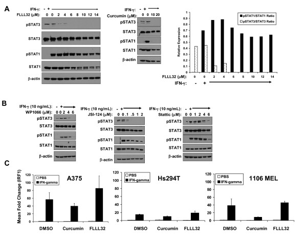 IFN-γ-induced signal transduction was not adversely affected by FLLL32 . (A) A375 cells were pre-treated for 16 hours with FLLL32 (2 -- 14 μM) or curcumin (20 μM) and subsequently treated with IFN-γ (10 ng/mL) for 15 minutes. IFN-γ-induced pSTAT1 and pSTAT3 were evaluated by immunoblot. Total STAT1, STAT3 and β-actin were also measured to control for loading. The data were also summarized by densitometry comparing relative expression of pSTAT1 to STAT1 and pSTAT3 to STAT3. (B) The same experiment was performed whereby A375 cells were pre-treated for 16 hours with other Jak2/STAT3 pathway inhibitors (WP1066, JSI-124, Stattic) prior to IFN-γ stimulation. Data shown are representative of two separate experiments and similar results were obtained in the Hs294T human melanoma cell line (Additional File 1 : Figure S3). (C) IFN-γ-induced gene expression was enhanced in the presence of FLLL32. A375, Hs294T or 1106 MEL cells were pre-treated for 1 hour with 2μM FLLL32, 20μM curcumin or DMSO (negative control), and subsequently stimulated with IFN-γ (10 ng/mL) or PBS (vehicle) for an additional 4 hours. Expression of IRF1 was evaluated by Real Time PCR. Data were normalized to 18s rRNA levels (housekeeping gene) and expressed as the mean fold change versus DMSO-pre-treated cells stimulated with PBS. Error bars represent the standard deviation from n = 2 independent experiments.