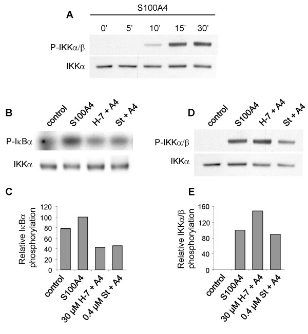 A. S100A4 induces phosphorylation of IKKα/β . Western blot of immunoprecipitated IKK complex from II-11b cells treated with 2 μM S100A4 for the indicated time periods and analyzed for expression of phosphorylated IKKα/β. IKKα was used as loading control. B. H-7 and staurosporine inhibit IKK-mediated IκBα phosphorylation in vitro. Upper panel: Kinase assay showing phosphorylation of recombinant IκBα by immunoprecipitated IKK complex from unstimulated II-11b cells or cells stimulated with 2 μM S100A4 for 15 minutes, with or without H-7 (30 μM) or staurosporine (0.4 μM) present in the reaction mixture. Lower panel: Western blot showing IKKα as a loading control. C. Densitometric quantification of the signals shown in Fig. 5B. The bars show IκBα phosphorylation relative to IKKα expression. One of three independent experiments is quantified due to high background in the other experiments. D. Treatment with H-7 or staurosporine did not influence the level of phosphorylated IKKα/β upon S100A4-stimulation for 15 minutes. Immunoprecipitated IKK complex was analyzed by immunoblotting using anti-phospho IKKα/β antibody. IKKα is used as loading control. E. Densitometric quantification of Fig. 5D. Bars show phosphorylated IKKα/β relative to IKKα expression. B and D are representative results of three independent experiments. St = staurosporine.