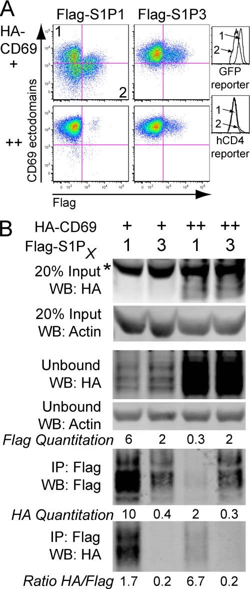 """CD69-mediated down-modulation of S1P 1  is associated with protein degradation. A , flow cytometric analysis of Flag-S1P 1  or Flag-S1P 3  when co-transduced and sorted for low or high levels of CD69 in WEHI-231 cells. The relative amount of CD69 expression (+ or ++) was determined by expression of an IRES GFP reporter. Histogram overlays on the right show GFP reporter and hCD4 reporter expression for cells in quadrant 1 and 2 of the  top left plot , indicating the relative expression of the CD69-IRES-GFP construct and the Flag-S1P 1 -IRES-hCD4 construct, respectively.  B , co-IP of S1P 1  or S1P 3  with CD69 from the cells shown in the flow cytometric analysis. Densitometry readings are indicated showing the intensity of Flag and HA signal and the calculation of the ratio of HA signal to Flag signal is shown beneath the  lower panel . These data are representative of two experiments using standard lysis buffer (see """"Experimental Procedures"""") and one experiment using 1% Triton X in place of Brij97 and Nonidet P-40 with similar results. Nonspecific bands are indicated with an  asterisk ."""